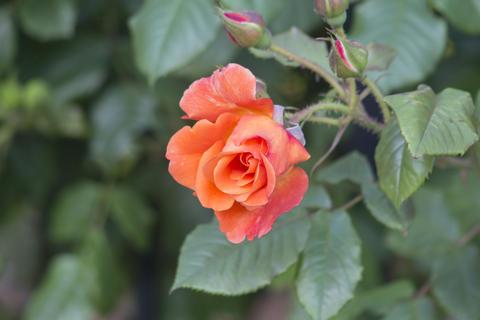 A semi-blooming orange rose Photo