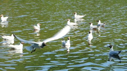 Blackhead Gull fly Footage