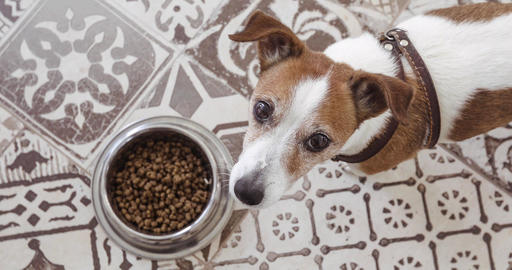 Hungry jack russell dog behind food bowl top view Footage