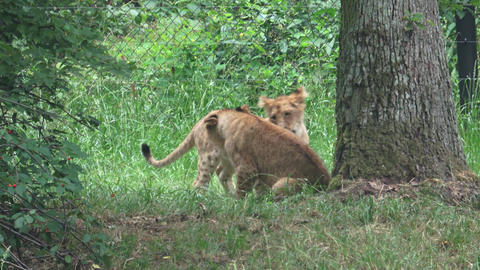 Two small lion cubs playing in the grass Live Action