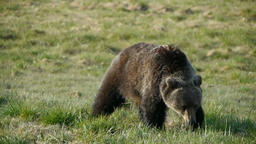 Grizzly in slow motion Footage