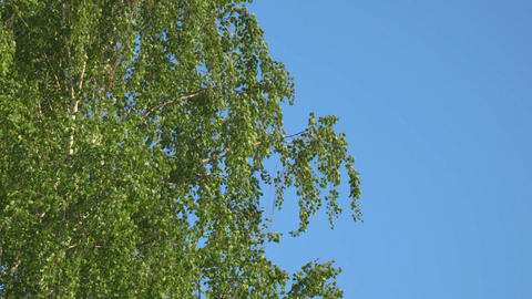 Branches and leaves of birch in the wind ビデオ