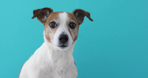Portrait nice Jack Russell Terrier blue background Footage