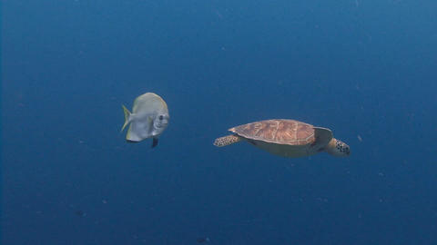 Fun dive with sea turtles and blue platax Live Action