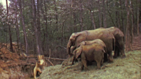 1964: Pack of elephants eating food in eastern USA forest habitat Footage