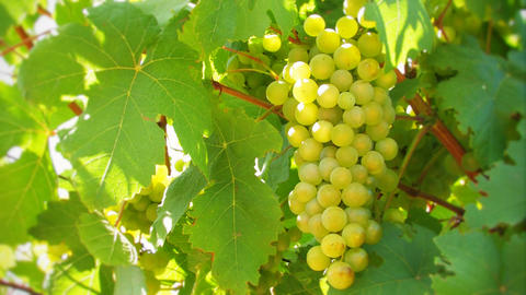 Nice bunch of grapes Live Action