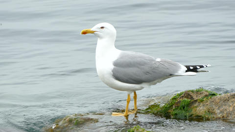 Seagull standing on a Stone Live Action