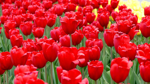Flowering Red Tulips stock footage