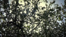 Honey bees pollinating a blossom apple tree static Footage