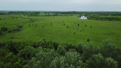 Flying over green field with grazing cows. Aerial background of country Footage