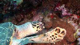 Head Giant reptile Hawksbill sea turtle Eretmochelys imbricata in Red sea Footage