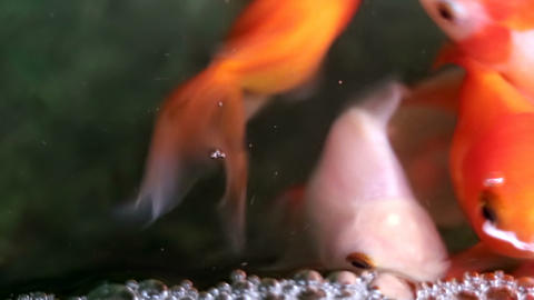 Soft focused beautiful and cute goldfishes swim Footage