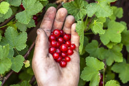 Red currant berries in hand of young boy フォト