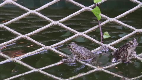 Two frogs sitting on the net in the pond ビデオ