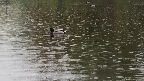 Duck In The Rain 영상물