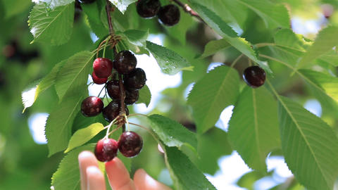 Hand picked ripe cherries from cherries tree Live Action