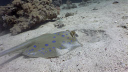 Fish with interest watching Bluespotted stingray which buries in sand of sea Footage