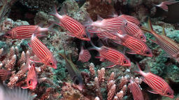 Flock of bright red striped fish underwater in coral Footage