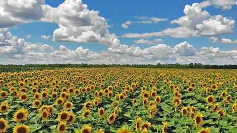 Flight above field of blooming sunflowers on a background cloudy blue sky Footage