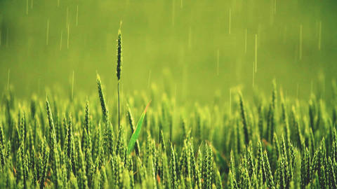 Heavy rain over the field. Young green wheat germ. Rain over the field Footage
