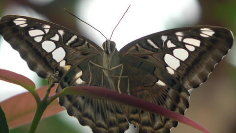 Large brown butterfly with white spots. Parthenos sylvia, Clipper butterfly Footage