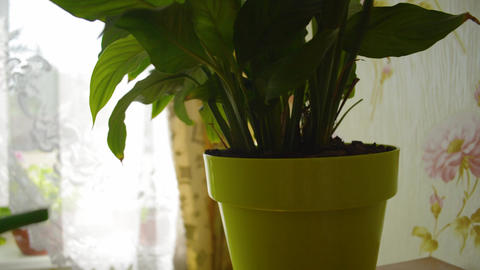 Person is watering Peace Lily flower with a watering pot... Stock Video Footage