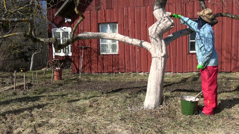 Gardener whitening whitewashing old apple tree trunk 영상물