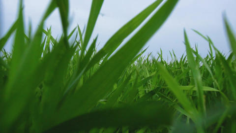 Young green leaves of wheat on farmland on a Sunny day. The young green wheat Live Action