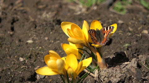 Small Tortoiseshell butterfly Aglais urticae on crocus Footage