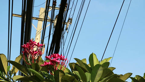 Nature and technology, Plumeria flowering tree and electrical power lines 실사 촬영