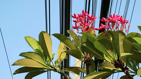 Nature and technology, Plumeria flowering tree and electrical power lines Live Action