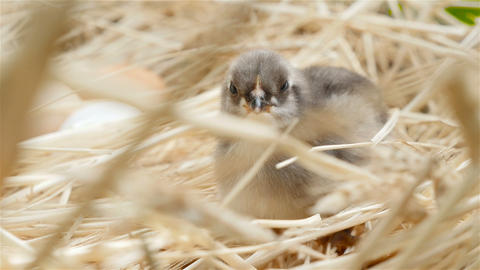 Lovely little chick. Gray-white color. Close-up Footage