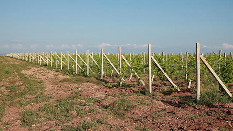 Rows of Young Vineyard Live Action