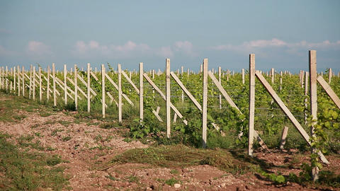 Rows Of Young Vineyard stock footage