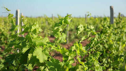 Shoots of Grapes on a Trellis Footage