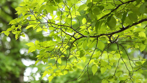 Green Leaves on Branches Footage