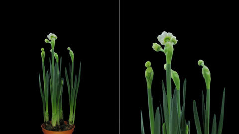 Growing, opening and rotating Narcissus in RGB + ALPHA matte format Footage