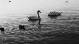 Swans At The River stock footage