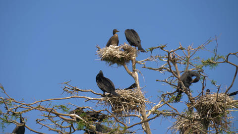 Black big cormorant nests in a tree Footage
