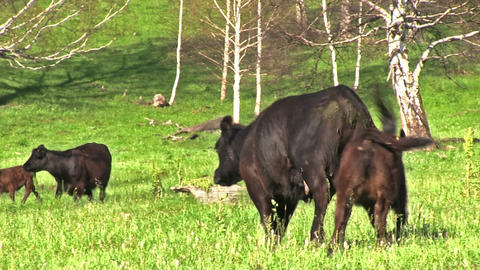 Calves are Grazing on Meadow Footage