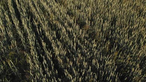 Flight over barley field at sunrise GIF