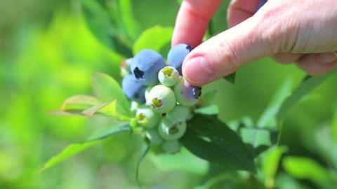 Harvest of ripe blueberries in a orchard GIF