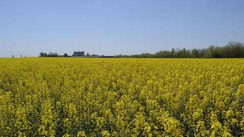 Flowering rape in the field. Yellow rape flowers in the field. Cedar rape crop Live Action