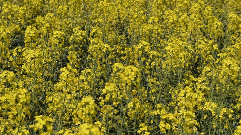 Flowering rape in the field. Yellow rape flowers in the… Stock Video Footage