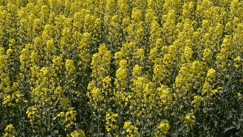 Flowering rape in the field. Yellow rape flowers in the field. Cedar rape crop Live Action