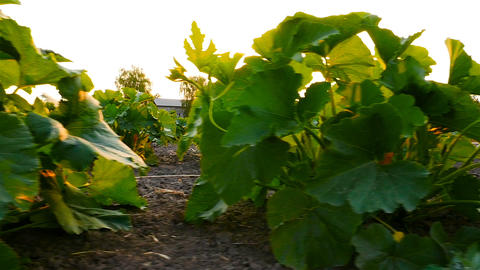 Pumpkin growing in the garden. Large plantations. The sun's rays shine through ビデオ