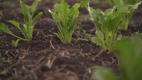 Beetroot grows in the field. Fields with beets. The plant is a beet in the field Footage