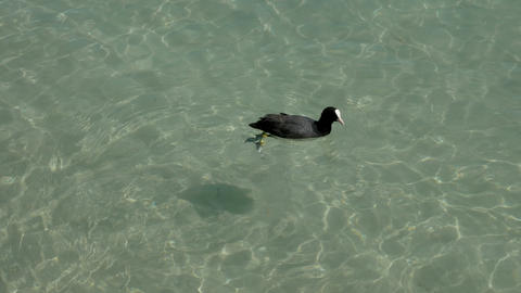 little black swan makes poo in the lake of Annecy, France Footage