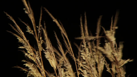 Dry yellow grass illuminated by a bulb shape in the sky black behind them in the Footage