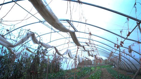 Vegetables cultivated in a greenhouse Footage